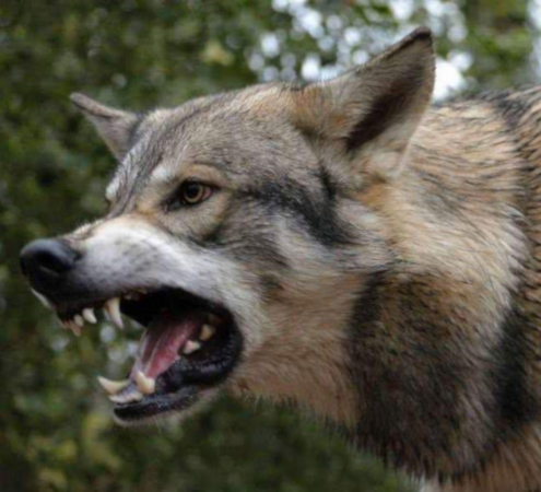 Growling Wolf Dog