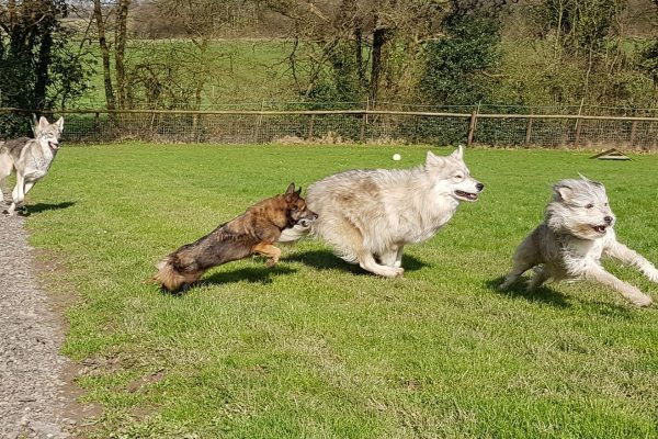 The-watermill-wolves-pack-playing-zoomies
