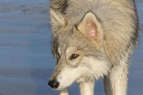 alice-on-the-beach-watermill-wolves