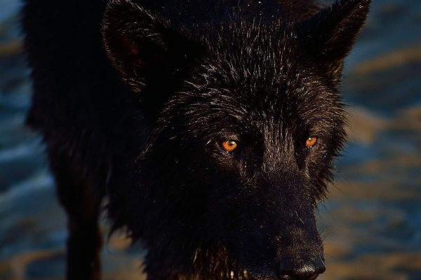 black-wolf-on-beach