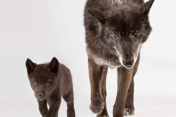 black-wolf-with-son