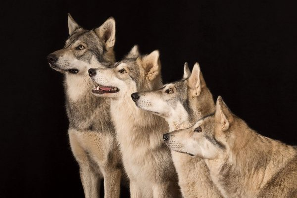 watermill-wolves-mother-and-children-side-on